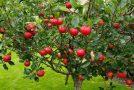 باغ سیب مهرشهر کرج «ثبت ملی» شد