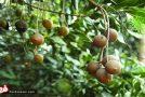 مرغوب ترین و گرانترین خشکبار جهان چه میوه ای است؟